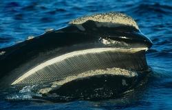 Southern Right Whale skim feeding